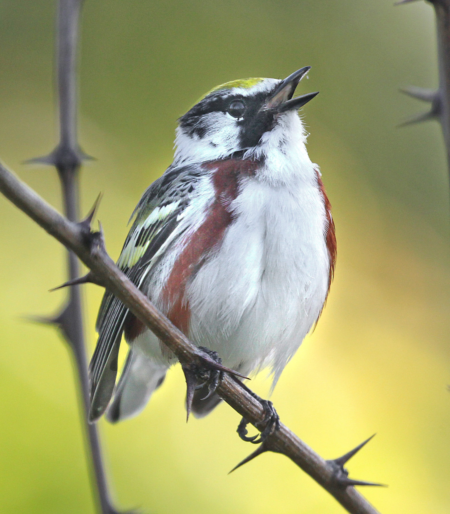 Chestnut-sided Warlber